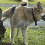 rumsren hund