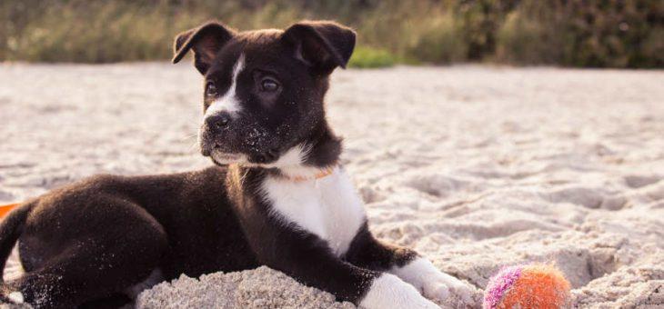 Vaccinera din hund